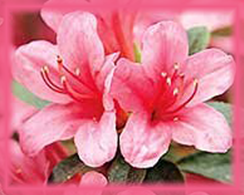 Azalea Flower Essence - Nature's Remedies