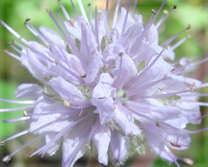 Ballhead Waterleaf Flower Essence - Nature's Remedies