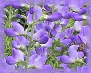 Baptisia Flower Essence - Nature's Remedies