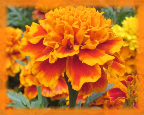 Beach Marigold Flower Essence - Nature's Remedies