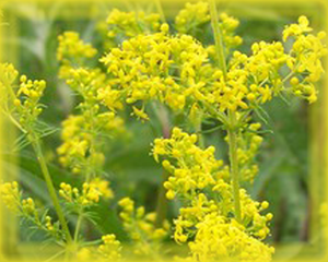 Bedstraw Flower Essence - Nature's Remedies