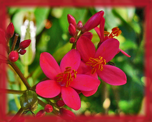 Big Root Jatropha Flower Essence - Nature's Remedies