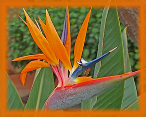 Bird of Paradise Flower Essence - Nature's Remedies