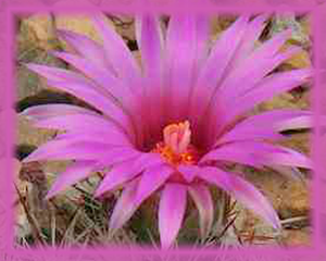 Bisbee Beehive Cactus Flower Essence - Nature's Remedies