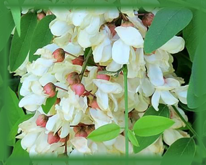 Black Locust Flower Essence - Nature's Remedies