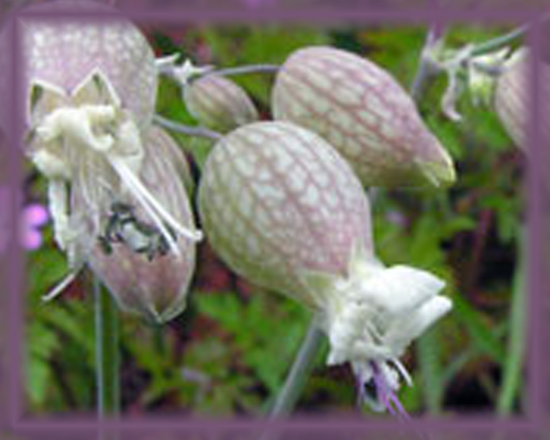 Bladder Campion Flower Essence - Nature's Remedies