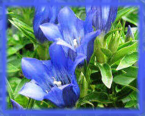 Blue Gentian Flower Essence - Nature's Remedies