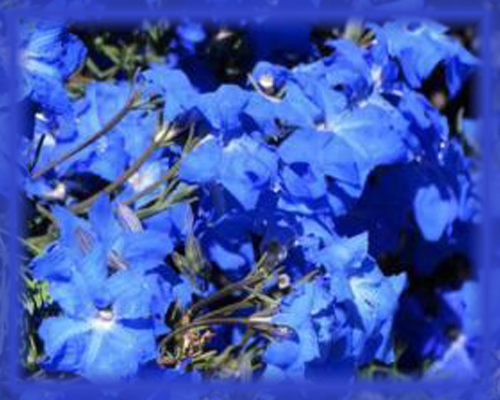 Blue Leschenaultia Flower Essence - Nature's Remedies