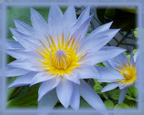 Blue Water Lily Flower Essence - Nature's Remedies