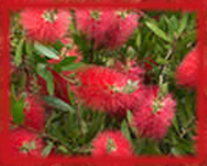 Bottlebrush Flower Essence - Nature's Remedies