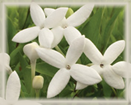 Bouvardia Flower Essence - Nature's Remedies