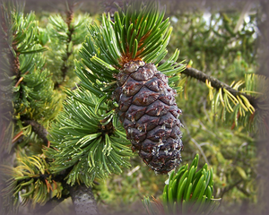 Bristlecone Pine Flower Essence - Nature's Remedies