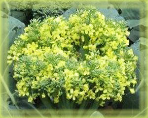 Broccoli Flower Essence - Nature's Remedies