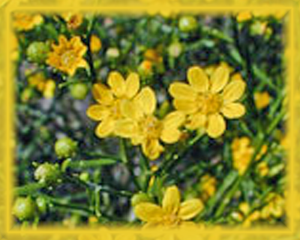 Broomweed Flower Essence - Nature's Remedies