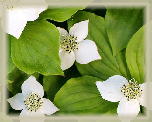 Bunchberry Flower Essence - Nature's Remedies