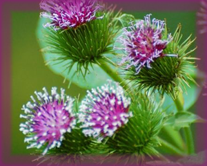 Burdock Flower Essence - Nature's Remedies