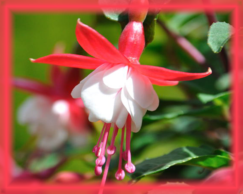Bush Fuchsia Flower Essence - Nature's Remedies