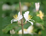Bush Honeysuckle Flower Essence - Nature's Remedies