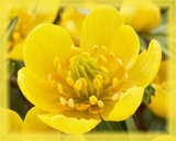Buttercup Flower Essence - Nature's Remedies