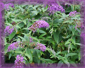 Butterfly Bush Flower Essence - Nature's Remedies