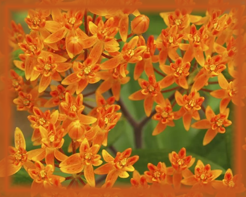 Butterfly Weed Flower Essence - Nature's Remedies