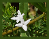 Buttonweed Flower Essence - Nature's Remedies