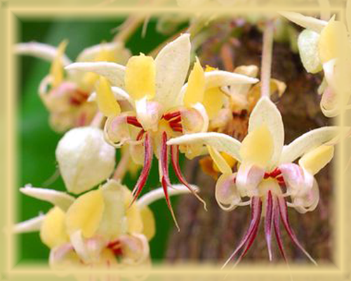 Cacao Flower Essence - Nature's Remedies