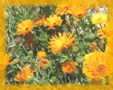 Calendula Flower Essence - Nature's Remedies