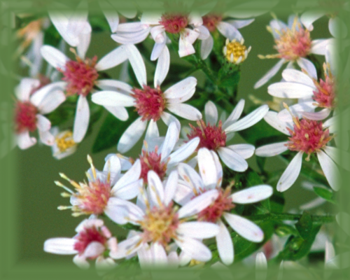 Calico Aster Flower Essence - Nature's Remedies