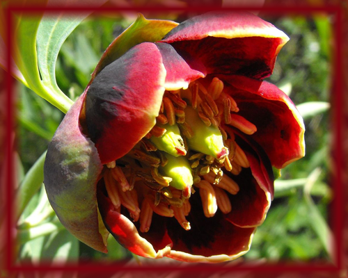 California Peony Flower Essence - Nature's Remedies