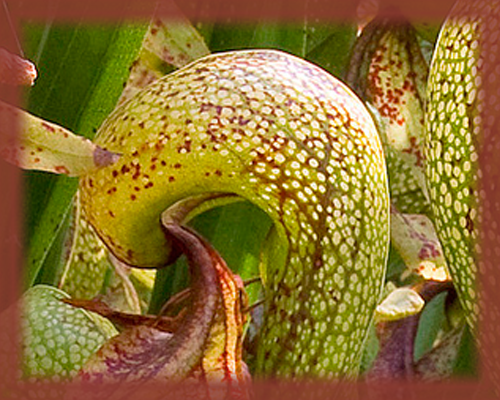 California Pitcher Plant Flower Essence - Nature's Remedies