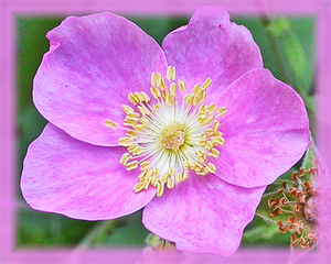 California Wild Rose Flower Essence - Nature's Remedies