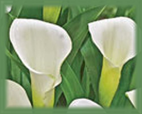 Calla Lily Flower Essence - Nature's Remedies