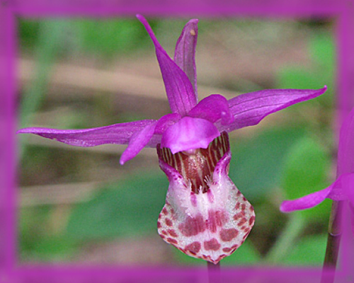 Calypso Orchid Flower Essence - Nature's Remedies