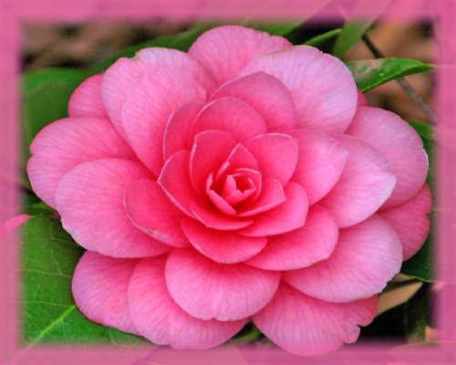 Camellia Flower Essence - Nature's Remedies