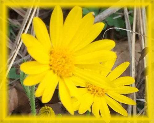 Camphorweed Flower Essence - Nature's Remedies