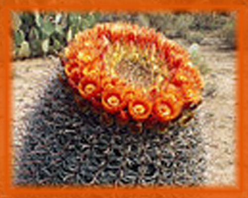 Candy Barrel Cactus Flower Essence - Nature's Remedies