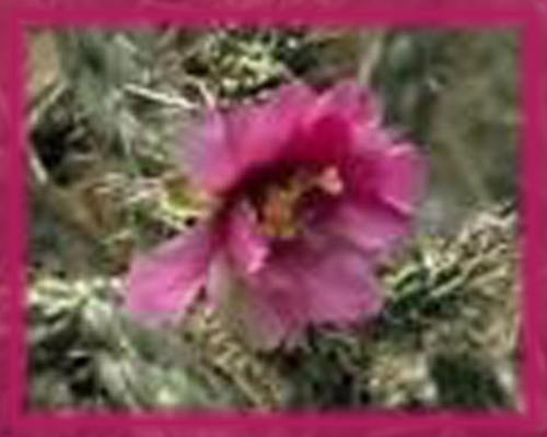 Cane Cholla Flower Essence - Nature's Remedies