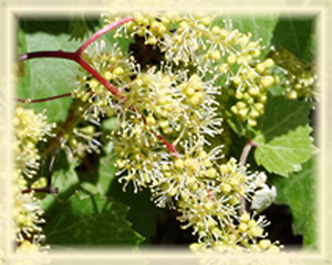 Canyon Grapevine Flower Essence - Nature's Remedies