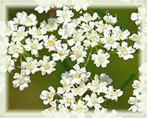 Caraway Flower Essence - Nature's Remedies