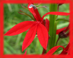 Cardinal Flower Flower Essence - Nature's Remedies