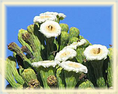 Cardon Cactus Flower Essence - Nature's Remedies