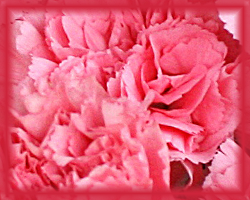 Carnation Flower Essence - Nature's Remedies