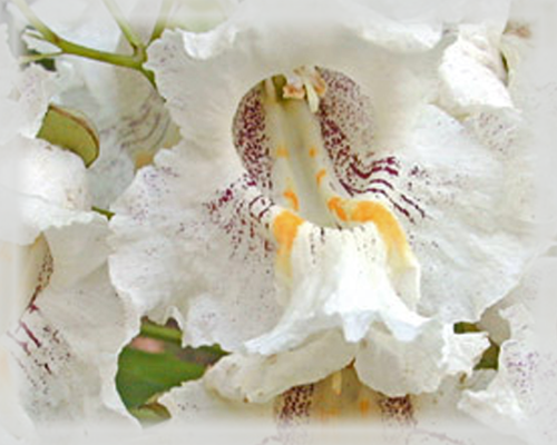 Catalpa Flower Essence - Nature's Remedies