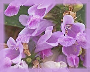 Catmint Flower Essence - Nature's Remedies