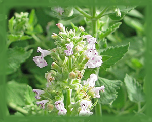 Catnip Flower Essence - Nature's Remedies