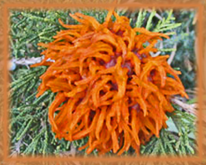 Cedar Apple Rust Flower Essence - Nature's Remedies
