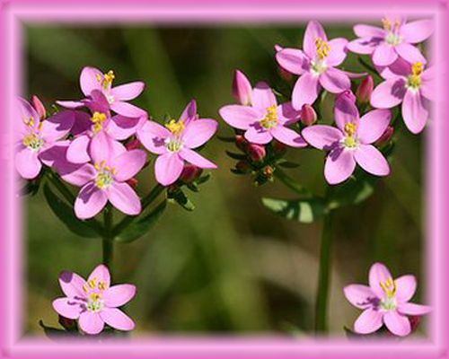Centaury Flower Essence - Nature's Remedies