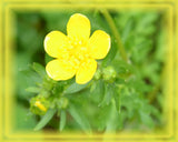 Bulbous Buttercup Flower Essence - Nature's Remedies