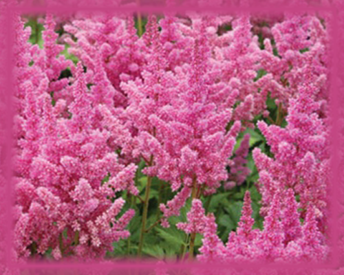 Pink Astilbe Flower Essence - Nature's Remedies